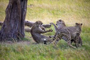 Kenia - Foto-Workshop in der Masai Mara