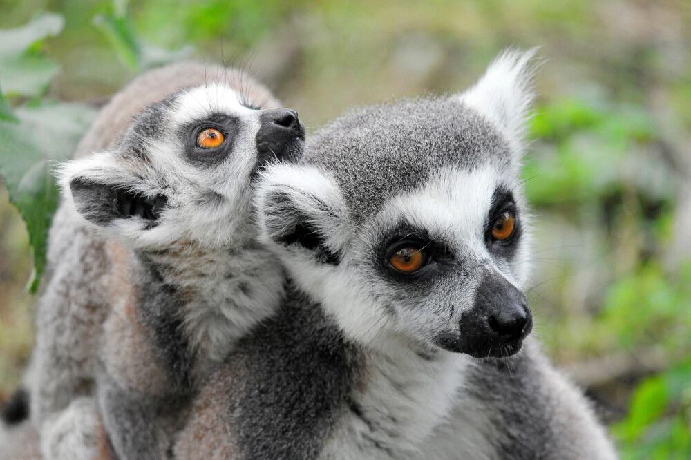 Madagaskar - Bambuslemuren und Meer