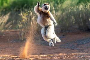 Madagaskar - Lemurensafari und Chamäleons