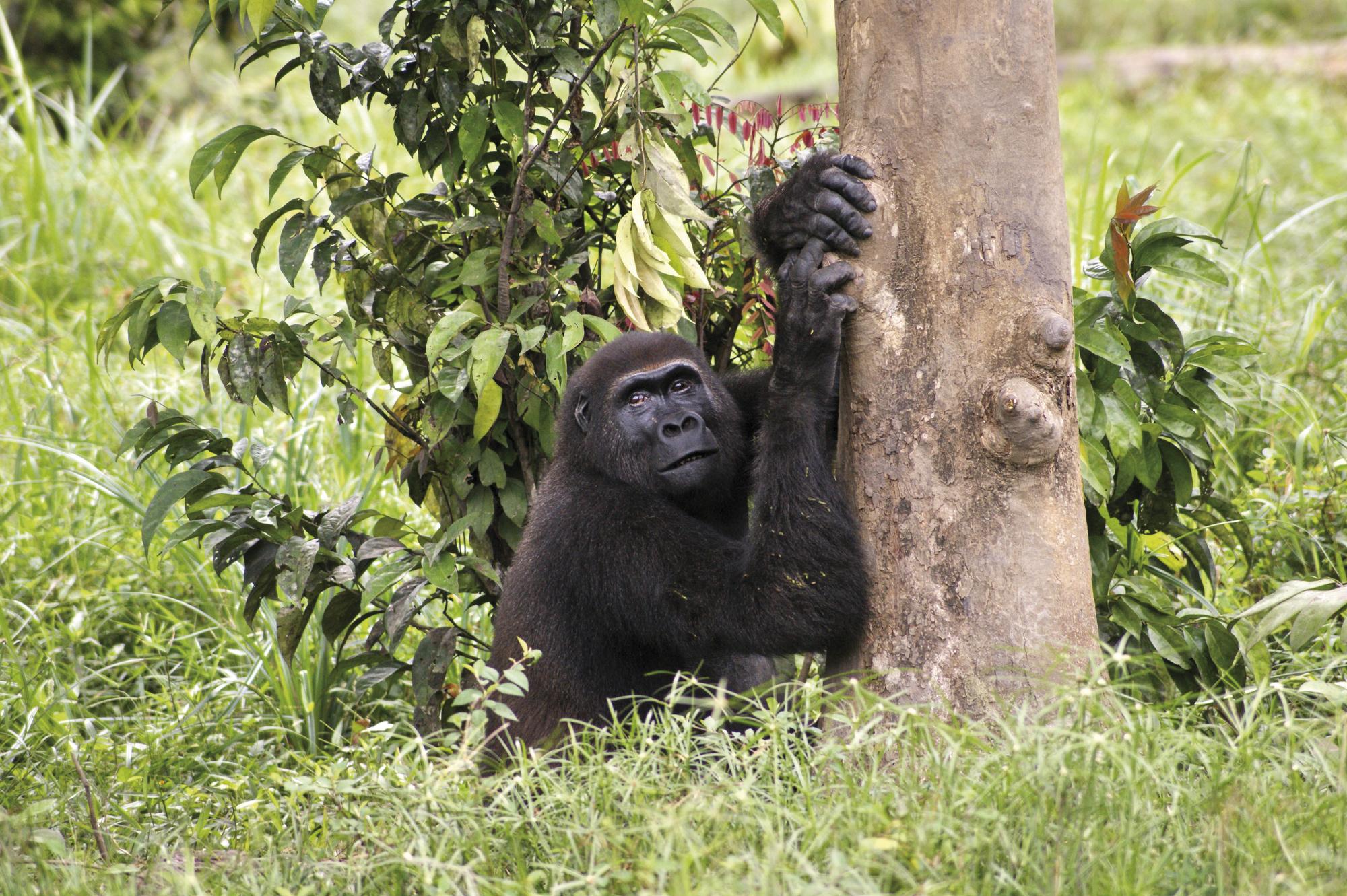 Naturwunder Kameruns: Flachland-Gorillas
