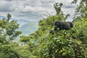Uganda - Ruanda - Zwischen Safariparadies und Virungabergen