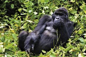 Uganda: Berggorillas & Schimpansen