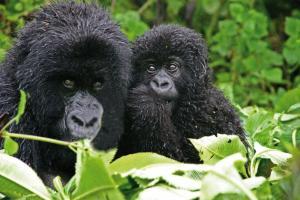 Uganda • Ruanda - Berggorillas und Schimpansen